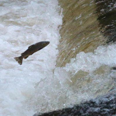 Salmon-Afon-Grywne